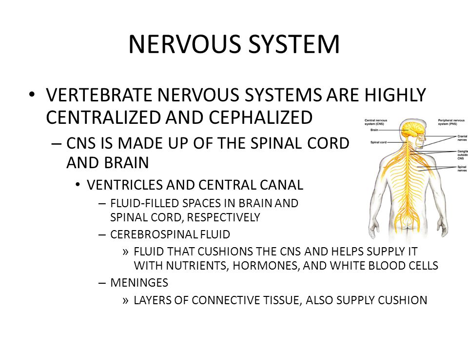 NERVOUS SYSTEM VERTEBRATE NERVOUS SYSTEMS ARE HIGHLY CENTRALIZED AND CEPHALIZED. CNS IS MADE UP OF THE SPINAL CORD AND BRAIN.