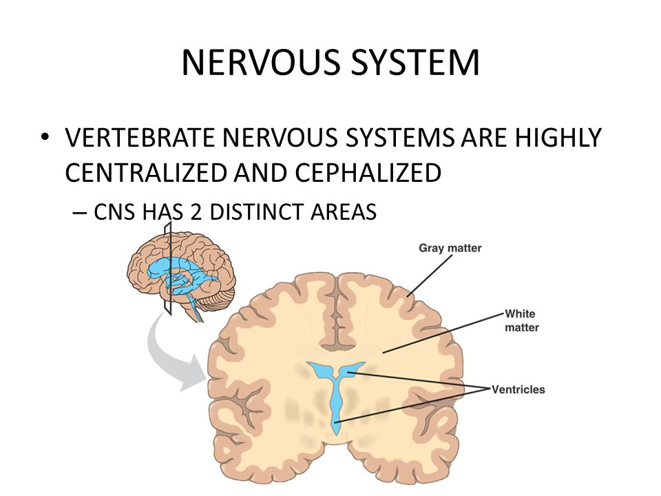 NERVOUS SYSTEM VERTEBRATE NERVOUS SYSTEMS ARE HIGHLY CENTRALIZED AND CEPHALIZED.