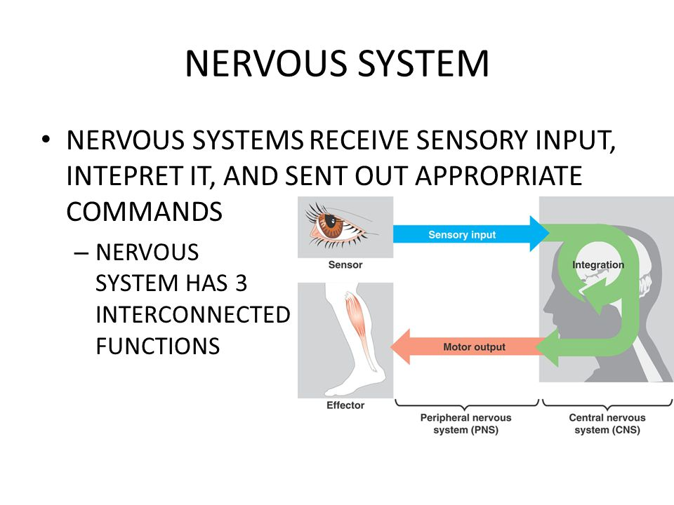 NERVOUS SYSTEM NERVOUS SYSTEMS RECEIVE SENSORY INPUT, INTEPRET IT, AND SENT OUT APPROPRIATE COMMANDS.
