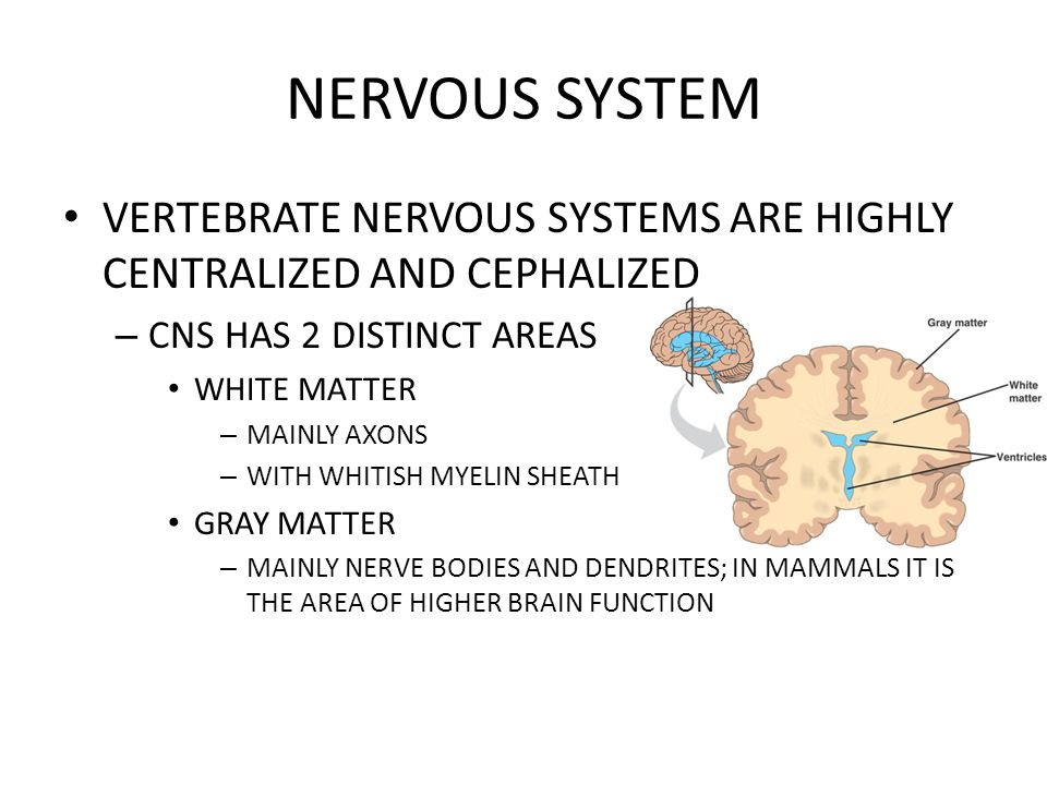 NERVOUS SYSTEM VERTEBRATE NERVOUS SYSTEMS ARE HIGHLY CENTRALIZED AND CEPHALIZED. CNS HAS 2 DISTINCT AREAS.