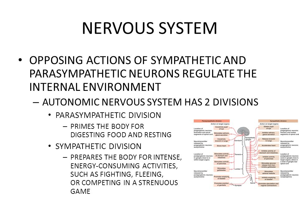 NERVOUS SYSTEM OPPOSING ACTIONS OF SYMPATHETIC AND PARASYMPATHETIC NEURONS REGULATE THE INTERNAL ENVIRONMENT.