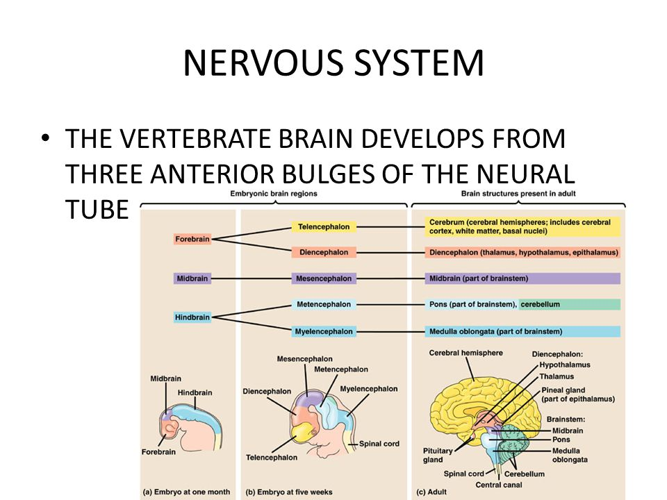 NERVOUS SYSTEM THE VERTEBRATE BRAIN DEVELOPS FROM THREE ANTERIOR BULGES OF THE NEURAL TUBE