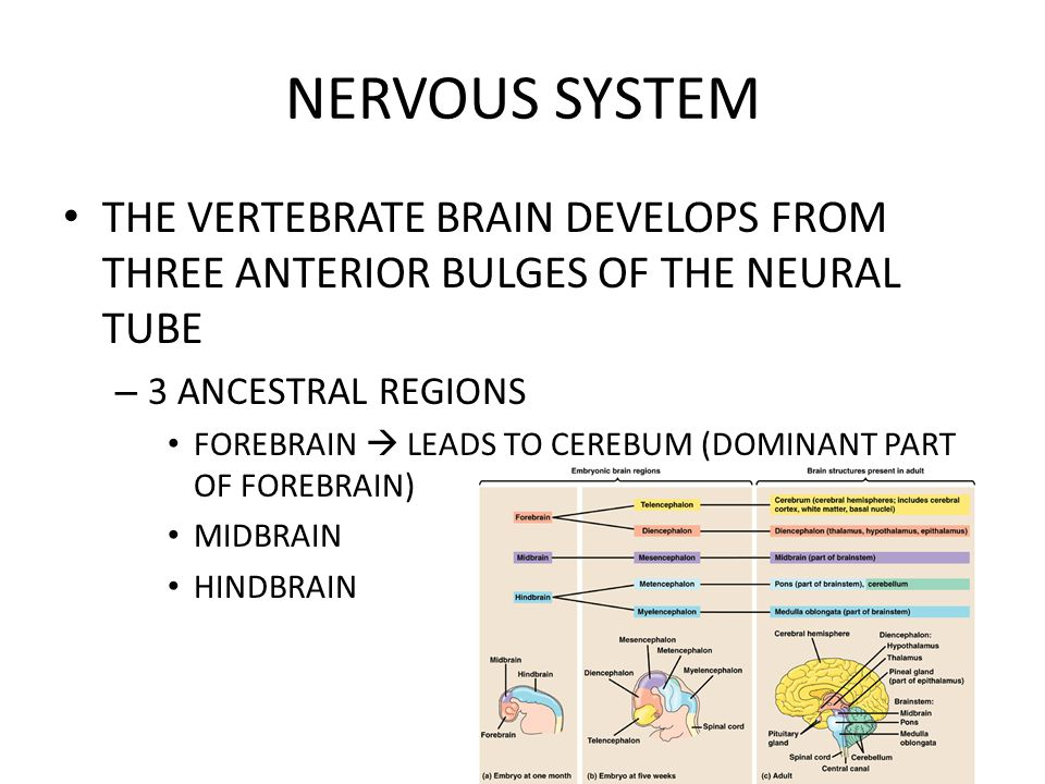 NERVOUS SYSTEM THE VERTEBRATE BRAIN DEVELOPS FROM THREE ANTERIOR BULGES OF THE NEURAL TUBE. 3 ANCESTRAL REGIONS.