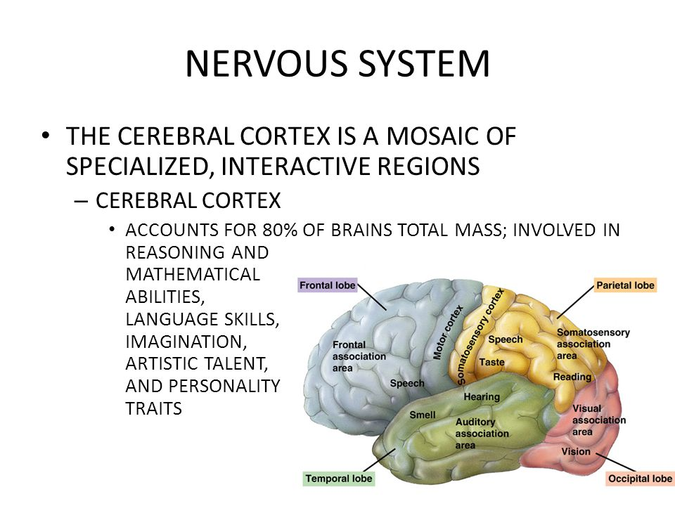NERVOUS SYSTEM THE CEREBRAL CORTEX IS A MOSAIC OF SPECIALIZED, INTERACTIVE REGIONS. CEREBRAL CORTEX.