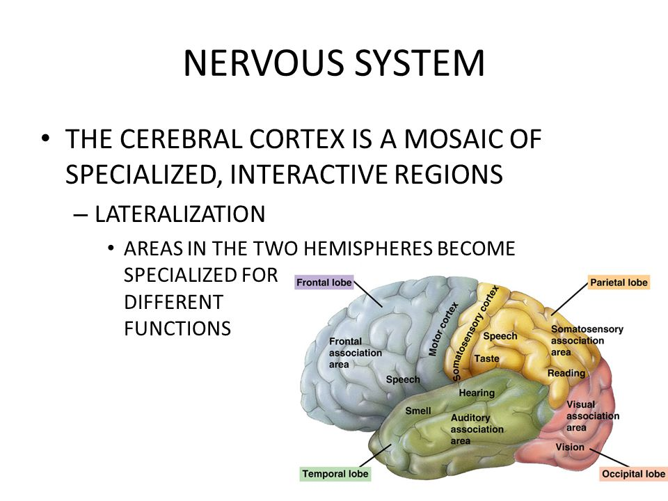 NERVOUS SYSTEM THE CEREBRAL CORTEX IS A MOSAIC OF SPECIALIZED, INTERACTIVE REGIONS. LATERALIZATION.