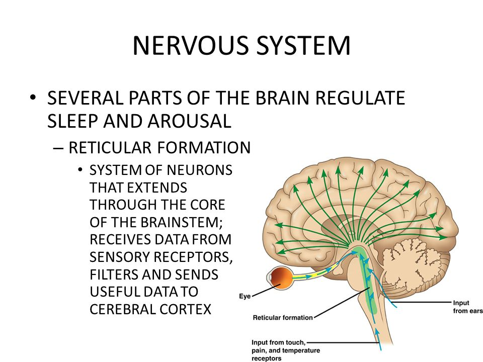 NERVOUS SYSTEM SEVERAL PARTS OF THE BRAIN REGULATE SLEEP AND AROUSAL