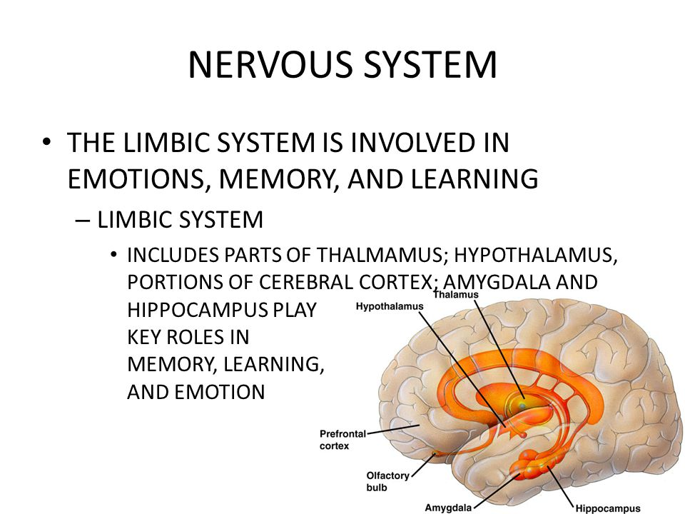 NERVOUS SYSTEM THE LIMBIC SYSTEM IS INVOLVED IN EMOTIONS, MEMORY, AND LEARNING. LIMBIC SYSTEM.