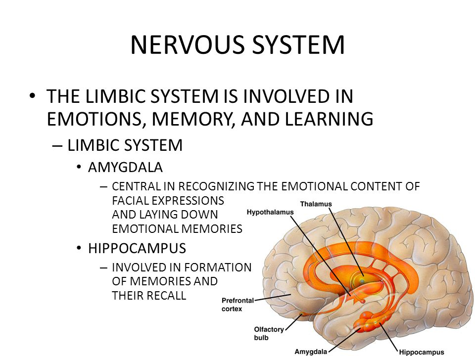 NERVOUS SYSTEM THE LIMBIC SYSTEM IS INVOLVED IN EMOTIONS, MEMORY, AND LEARNING. LIMBIC SYSTEM. AMYGDALA.