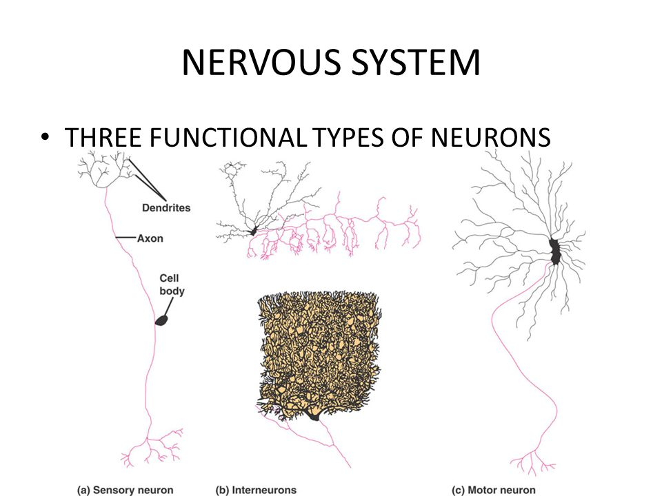 NERVOUS SYSTEM THREE FUNCTIONAL TYPES OF NEURONS