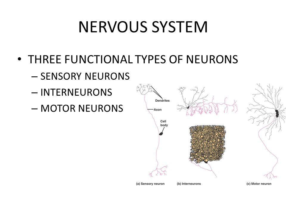 NERVOUS SYSTEM THREE FUNCTIONAL TYPES OF NEURONS SENSORY NEURONS