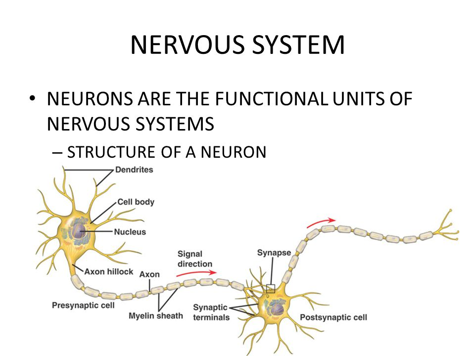NERVOUS SYSTEM NEURONS ARE THE FUNCTIONAL UNITS OF NERVOUS SYSTEMS