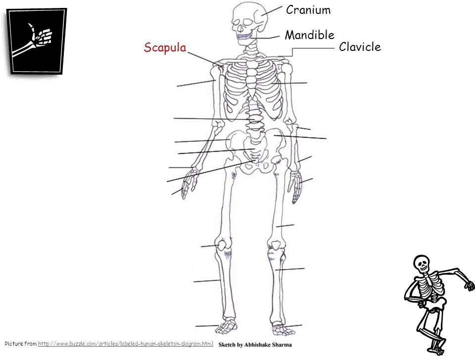 Cranium Mandible Scapula Clavicle