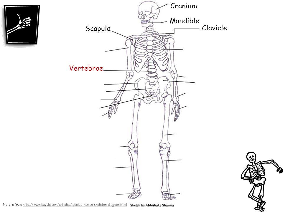 Cranium Mandible Scapula Clavicle Vertebrae