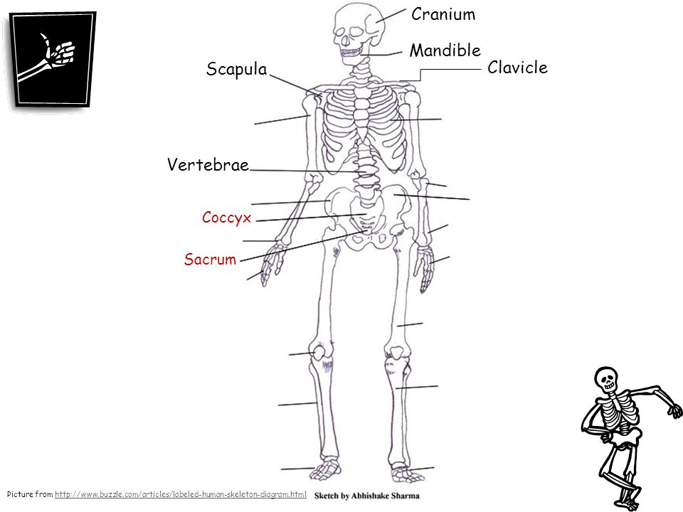 Skeletal system ppt video online download cranium mandible scapula clavicle vertebrae coccyx sacrum ccuart Image collections