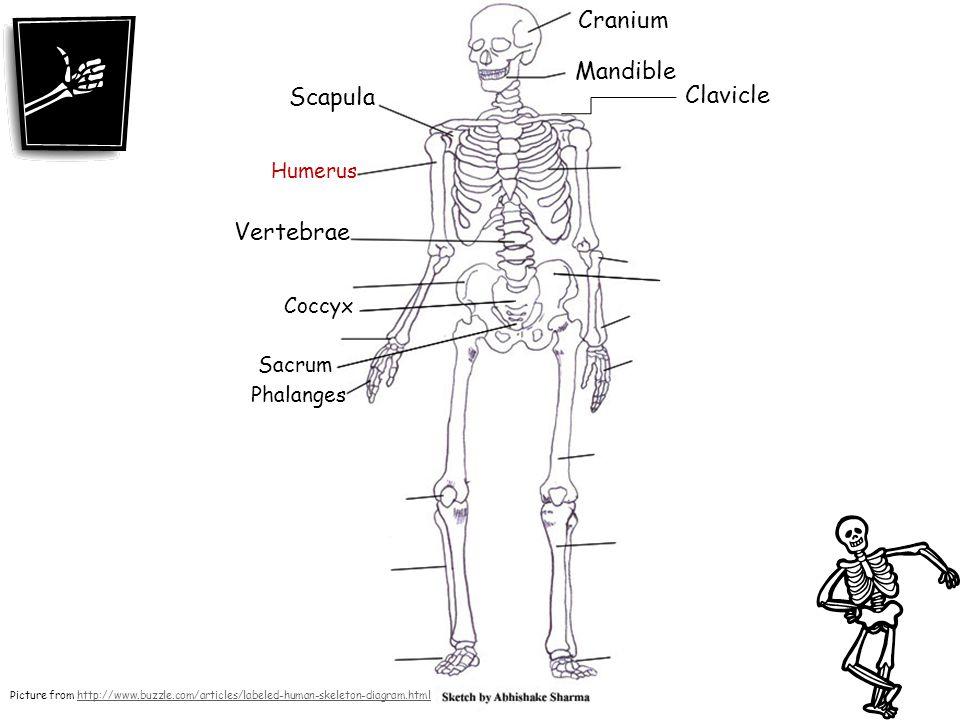 Cranium Mandible Scapula Clavicle Vertebrae Humerus Coccyx Sacrum