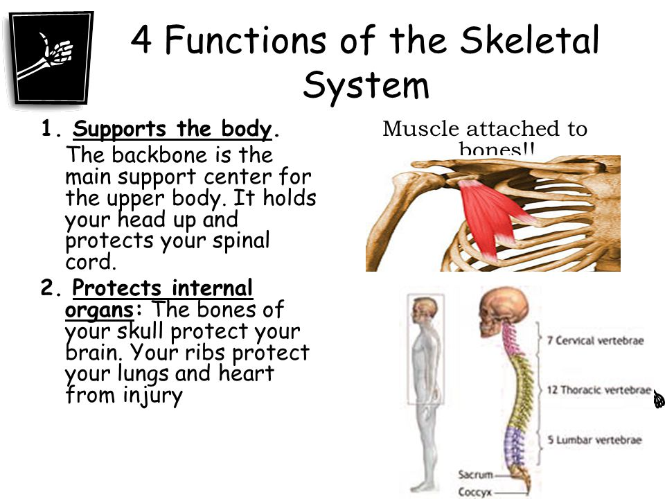 Skeletal system ppt video online download 4 functions of the skeletal system ccuart Gallery