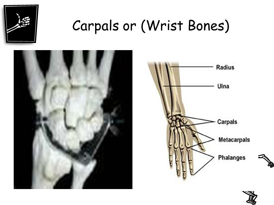 Carpals or (Wrist Bones)