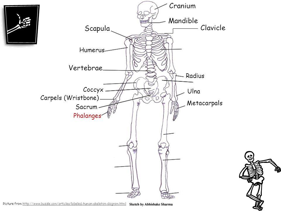 Cranium Mandible Scapula Clavicle Vertebrae Humerus Radius Coccyx Ulna