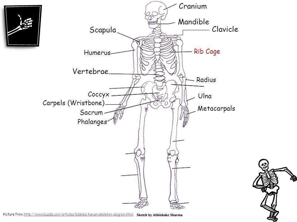 Cranium Mandible Scapula Clavicle Vertebrae Rib Cage Humerus Radius