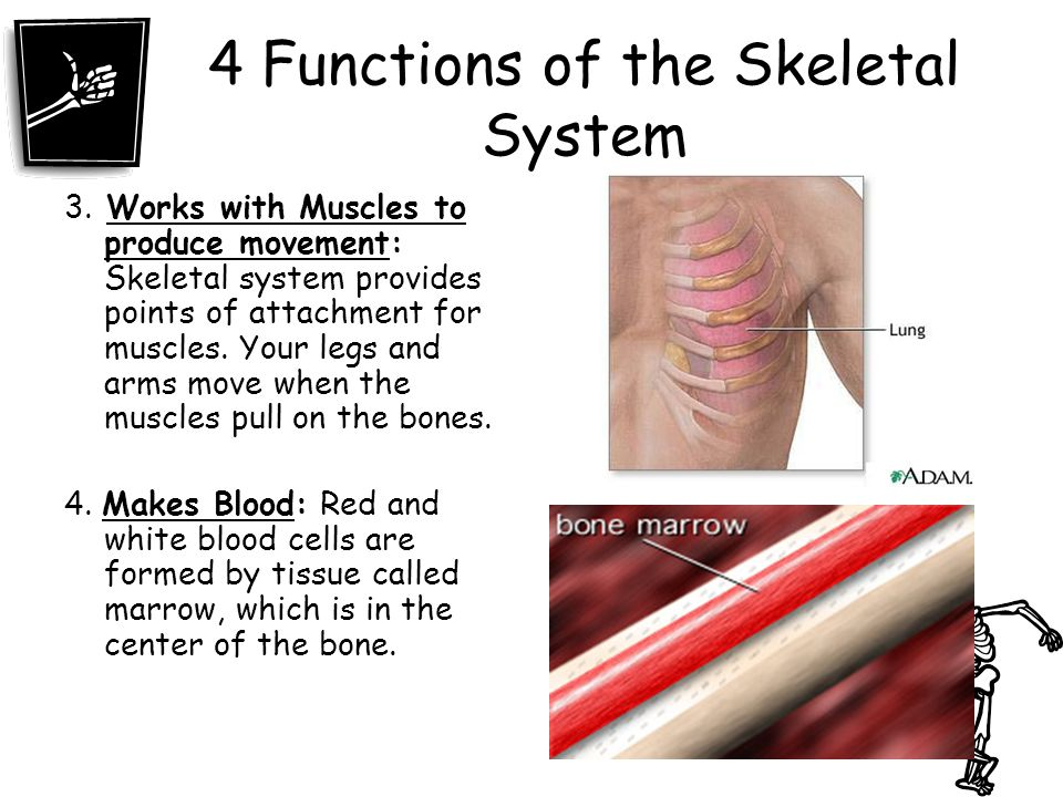 4 Functions of the Skeletal System