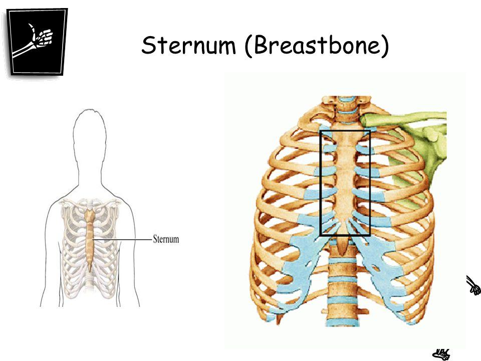 Sternum (Breastbone)
