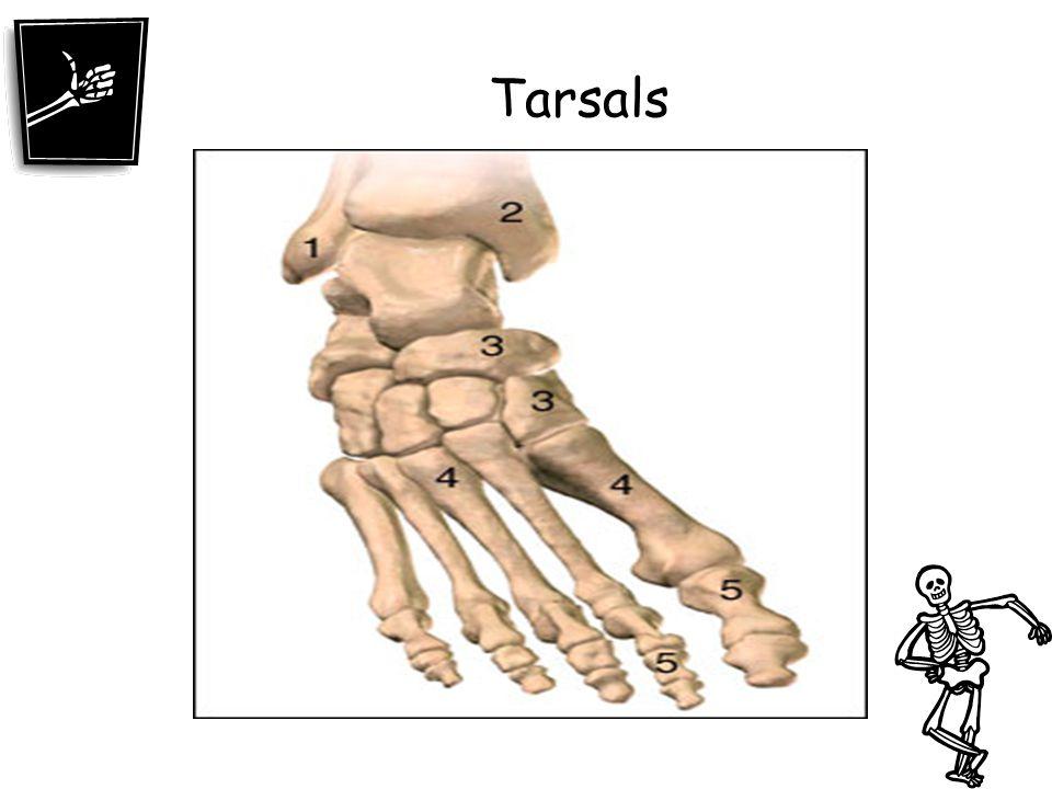 Tarsals
