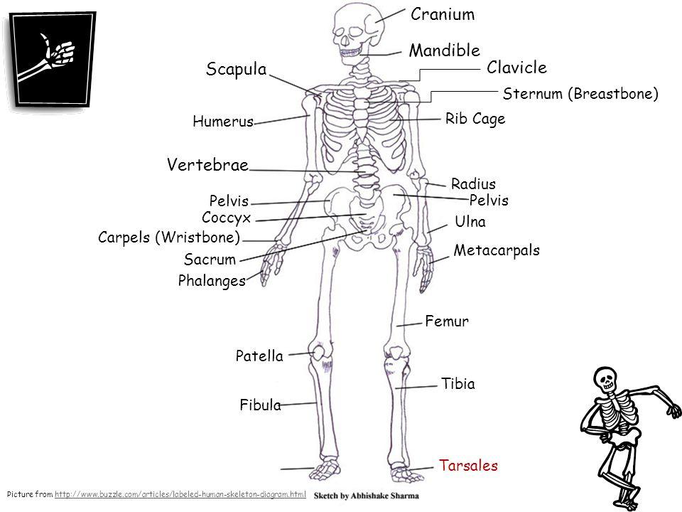 Cranium Mandible Scapula Clavicle Vertebrae Sternum (Breastbone)