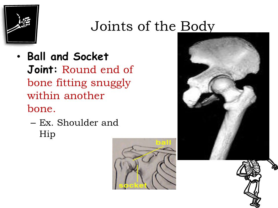 Joints of the Body Ball and Socket Joint: Round end of bone fitting snuggly within another bone.