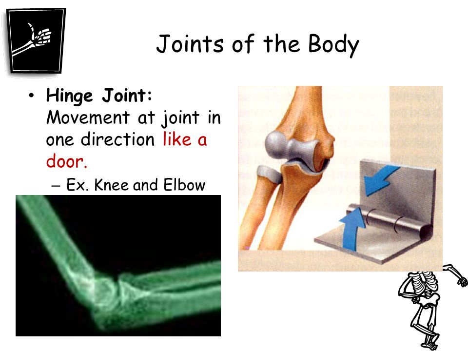 Joints of the Body Hinge Joint: Movement at joint in one direction like a door. Ex. Knee and Elbow