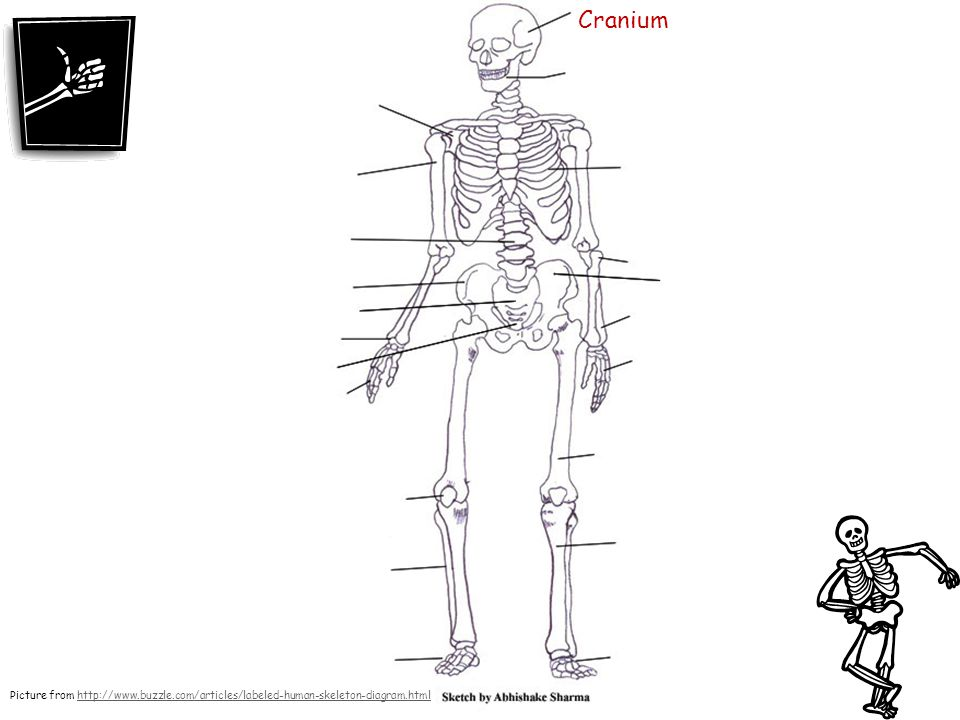 Cranium Picture from http://www.buzzle.com/articles/labeled-human-skeleton-diagram.html