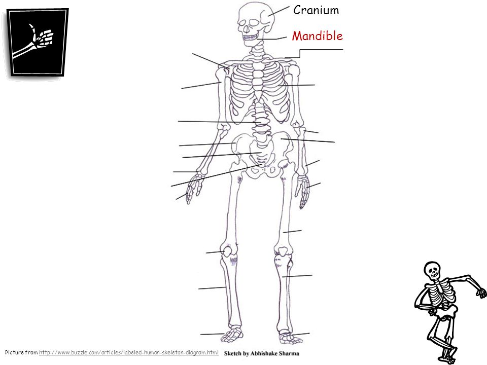 Cranium Mandible Picture from http://www.buzzle.com/articles/labeled-human-skeleton-diagram.html