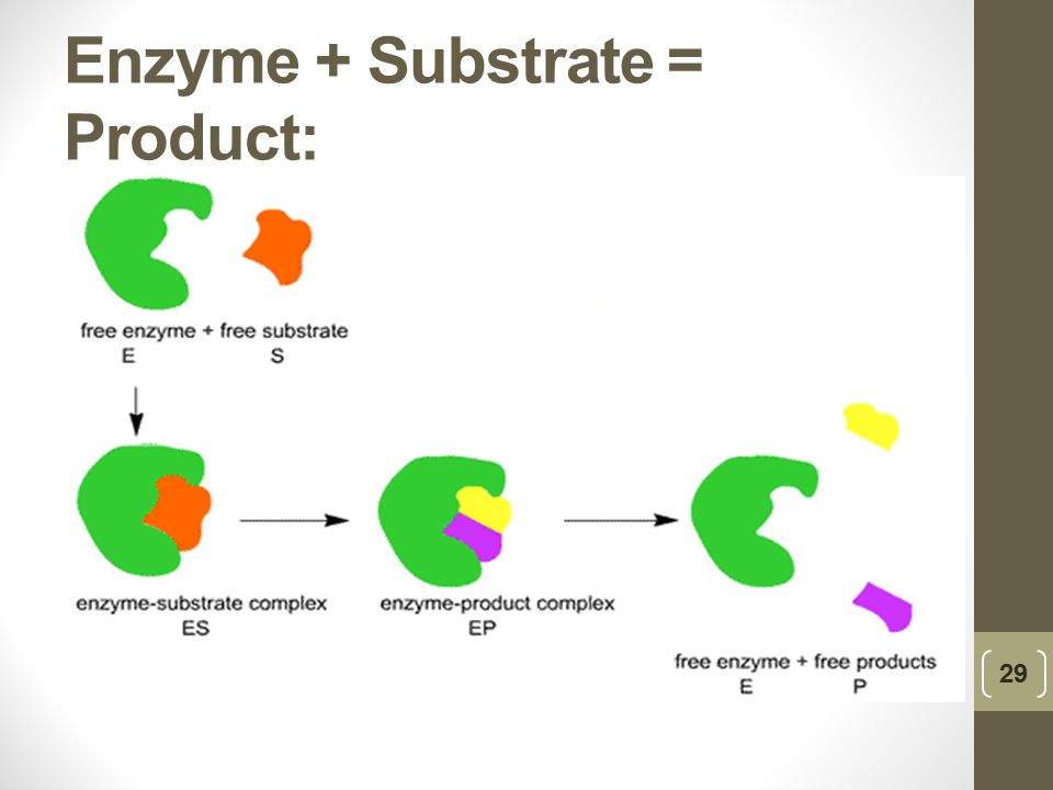 Enzyme + Substrate = Product: