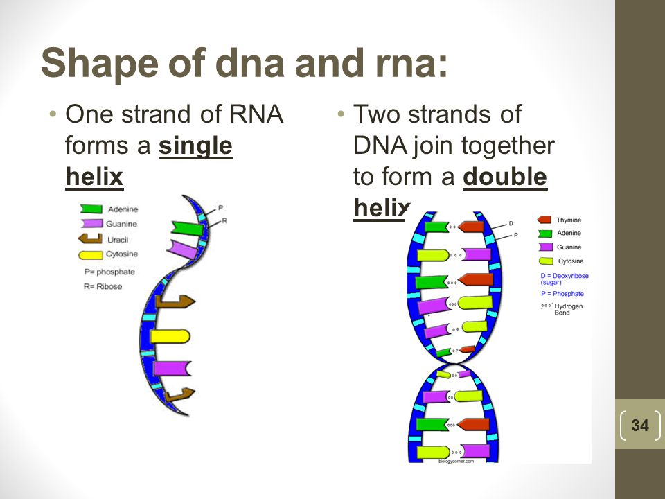 Shape of dna and rna: One strand of RNA forms a single helix