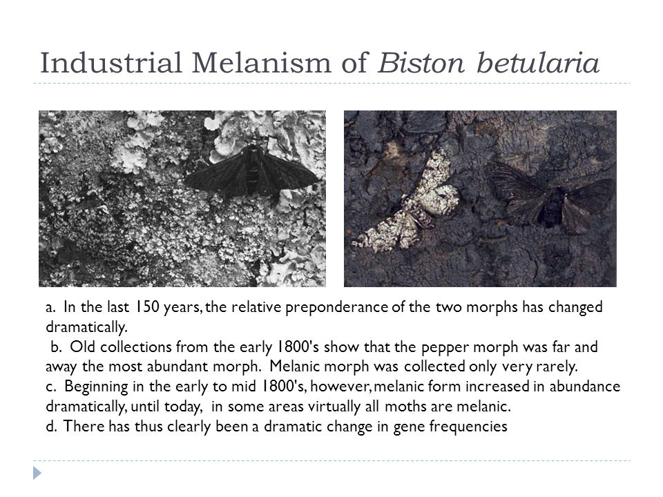 Industrial Melanism of Biston betularia