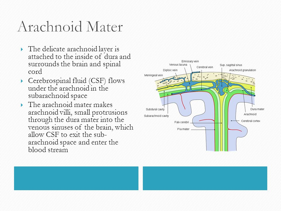 Arachnoid Mater The delicate arachnoid layer is attached to the inside of dura and surrounds the brain and spinal cord.