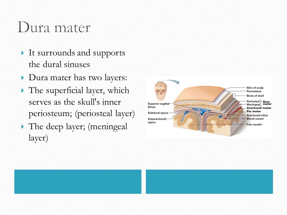 Dura mater It surrounds and supports the dural sinuses
