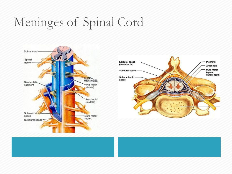 Meninges of Spinal Cord