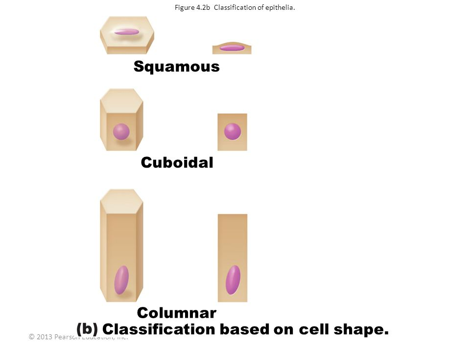 Figure 4.2b Classification of epithelia.