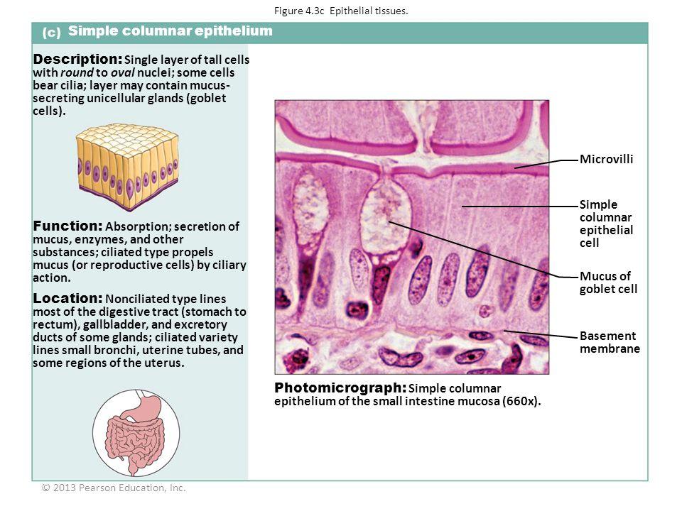 Figure 4.3c Epithelial tissues.