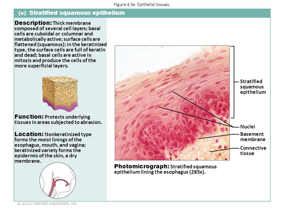 Figure 4.3e Epithelial tissues.
