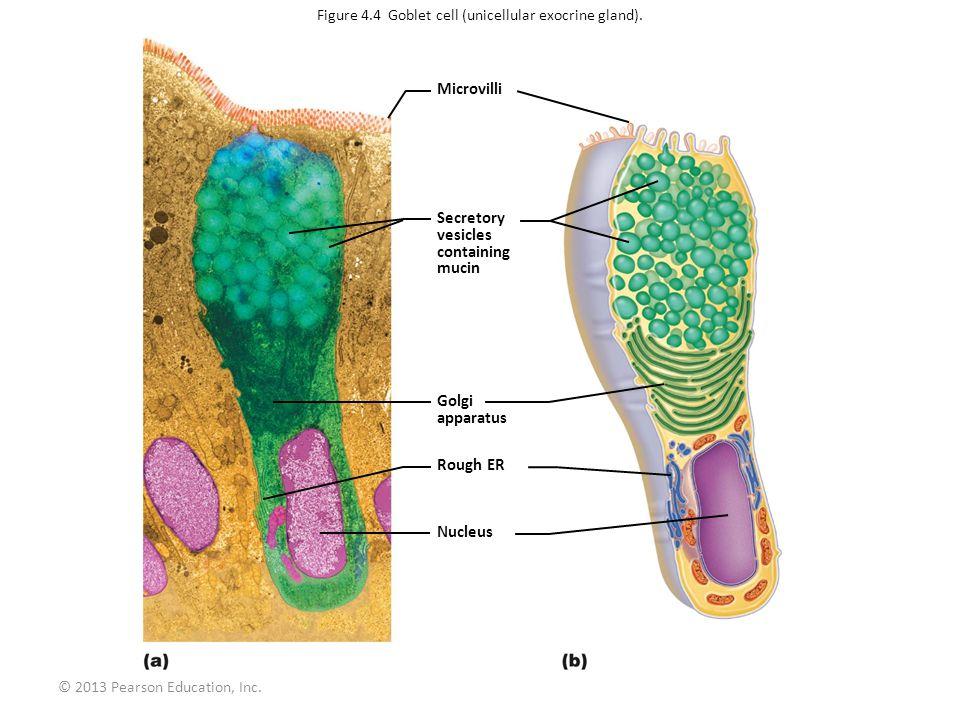 Figure 4.4 Goblet cell (unicellular exocrine gland).