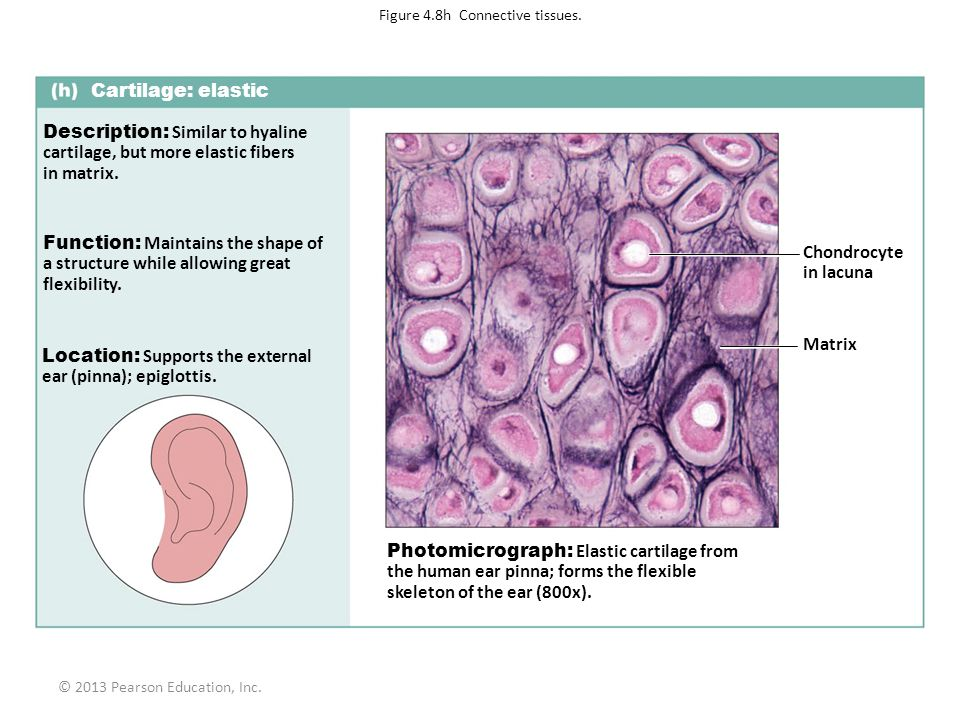 Figure 4.8h Connective tissues.