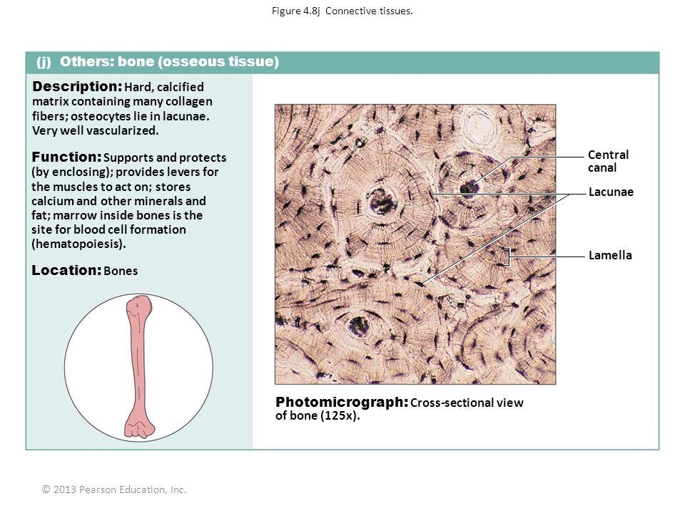 Figure 4.8j Connective tissues.