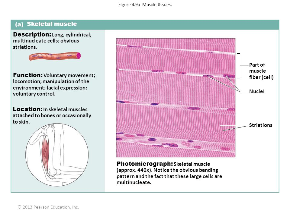 Figure 4.9a Muscle tissues.