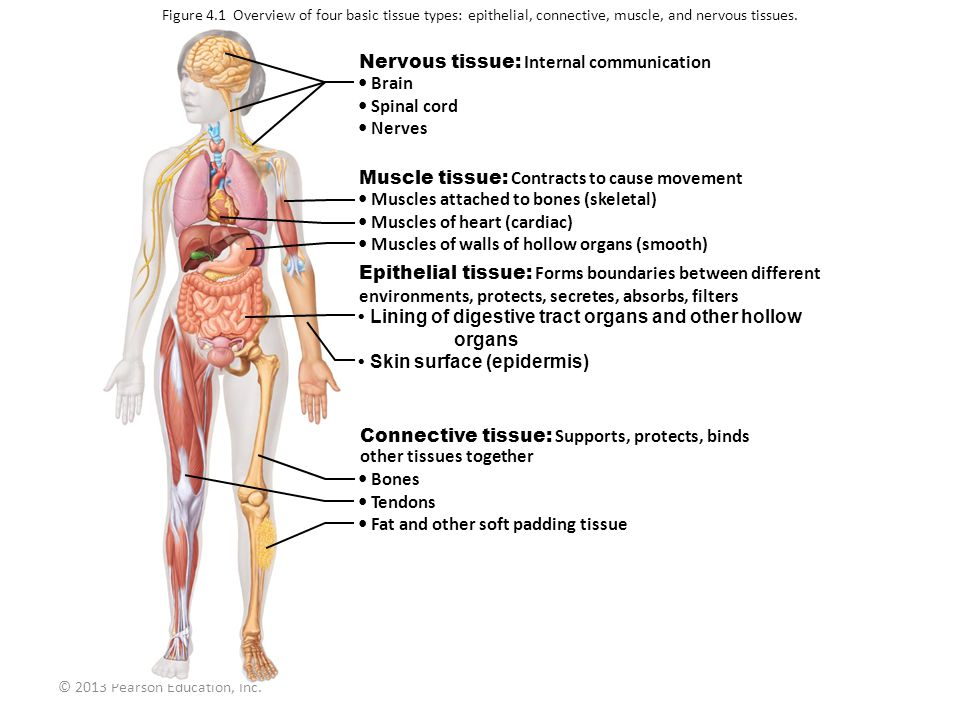 Nervous tissue: Internal communication • Brain • Spinal cord • Nerves