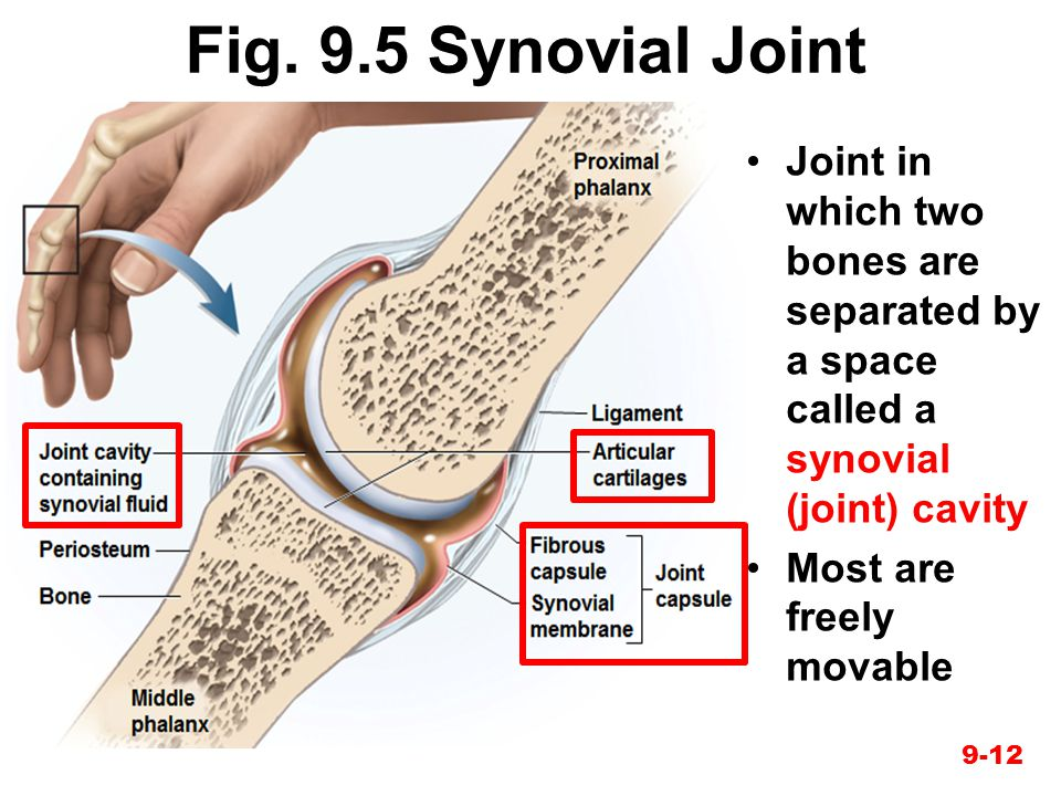 Fig. 9.5 Synovial Joint Joint in which two bones are separated by a space called a synovial (joint) cavity.