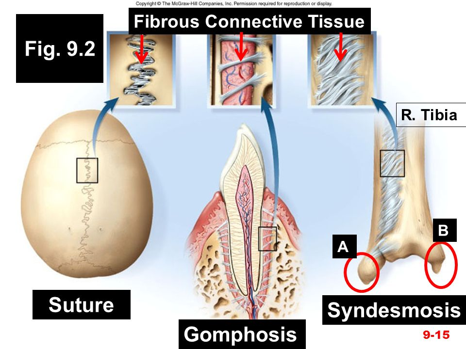 Fig. 9.2 Suture Syndesmosis Gomphosis Fibrous Connective Tissue
