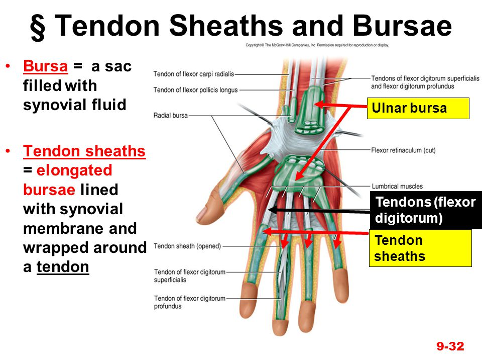 § Tendon Sheaths and Bursae