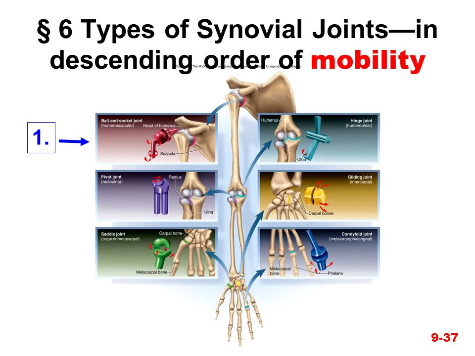 § 6 Types of Synovial Joints—in descending order of mobility