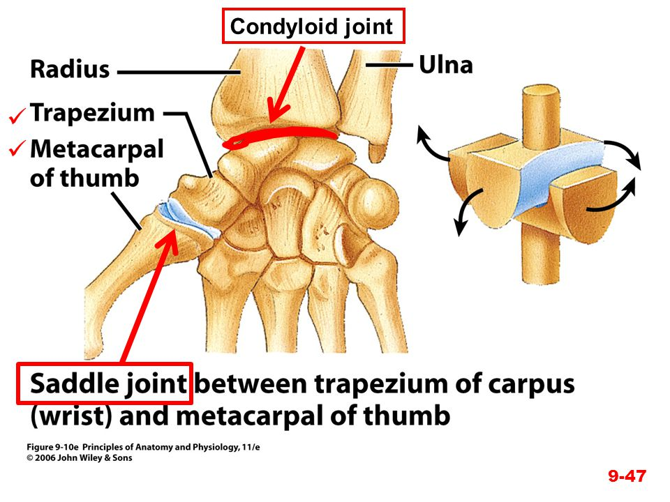 Condyloid joint  